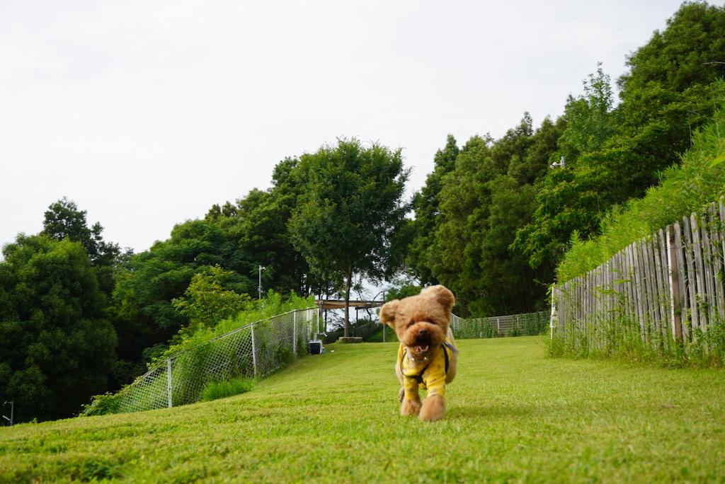 ドッグランで走るレオさん